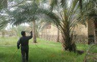 انطلاق الحملة السنوية في السماوة لمكافحة حشرة الدوباس